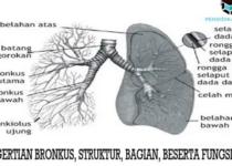 pengertian-bronkus